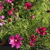Cosmos sonata Carmine deep pink 1L ready May